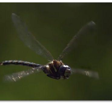 Libellen_zur_Mückenbekämfpung_libelle