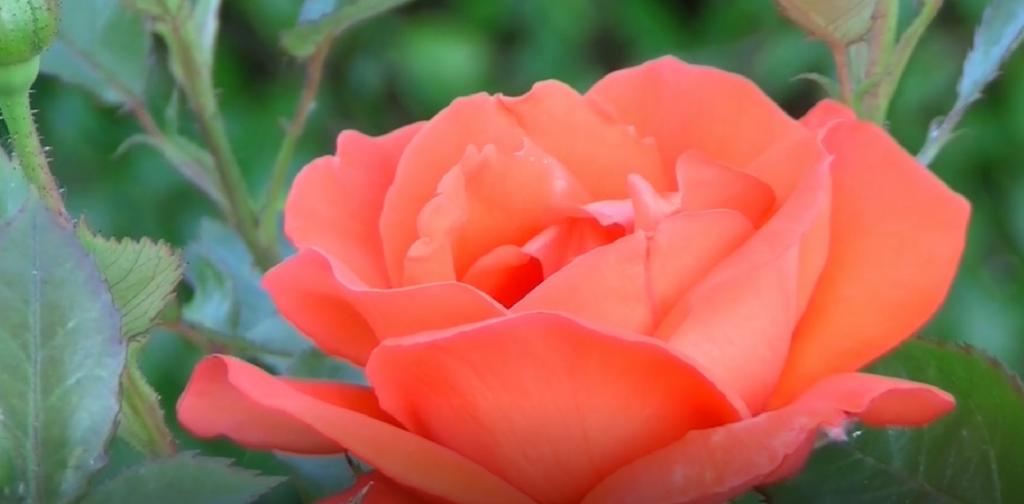 Kaffeesatz als Dünger für Rosen